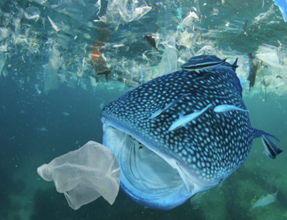 whale shark surrounded by single use plastics